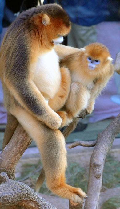 中国一级保护动物金丝猴 - 天使 - 百合花