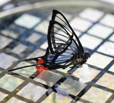 나비가 스탠퍼드대학의 바오 교수팀이 개발한 인공 피부에 앉고 있다. 바오 교수팀은 나비가 내려앉는 압력을 측정할 수 있는 인공피부를 개발했다. /스탠퍼드대 제공