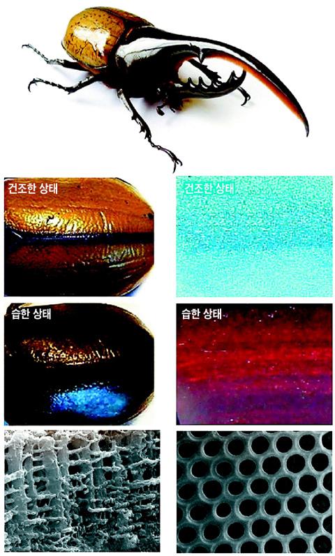 남미의 장수풍뎅이는 건조해지면 껍질이 황갈색을 띠었다가, 습해지면 검은색으로 바뀐다(사진 왼쪽). 이는 빛이 풍뎅이 내부의 다공성 격자 구조(사진 맨 아랫줄의 왼쪽)의 구멍을 통과할 때, 수분이 있을 때와 없을 때 반사되는 정도가 달라지기 때문이다. 서강대 이승엽 교수팀은 인공 풍뎅이 격자 구조(사진 맨 아랫줄의 오른쪽)를 만들어, 습도에 따라 색이 달라지는 것을 확인했다. 인공 풍뎅이 격자 구조는 건조할 때는 연한 푸른색을 띠었다가 습해지면 붉은색으로 바뀌었다(사진 오른쪽). /서강대 제공