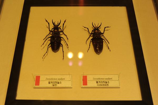 희귀곤충실에 전시된 다리가 4개인 하늘소 표본(오른쪽)의 학술적 가치는 2억원이라고 한다.