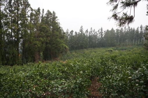 플로팅 L에서 바라본 삼나무 방풍림과 귤농장 일부./허성준 기자