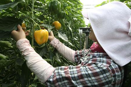 엔저현상 탓에 파프리카를 재배하는 농가들의 수입이 20%가량 감소했다./롯데마트 제공