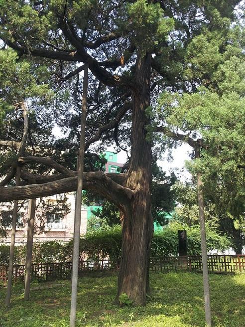 선농단 안에 있는 수령 500년 이상된 향나무, 선농향(천연기념물제240호).  선농단 500년 역사를 지켜온 파수꾼이다. 사진=선주성 시티스토리 편집장