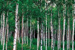 핀란드산 자작나무에서 추출한 자일리톨로 만든 자일리톨껌은 충치 예방 등의 효과가 있다.