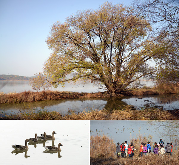 1코스에서 만날 수 있는 왕버들(위)과 눈높이(오른쪽 아래)에서 관찰할 수 있는 철새(왼쪽 아래).