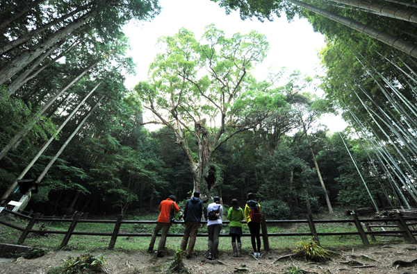 다케오 신사 내에 있는 3,000년 묵은 녹나무.