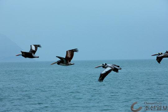 펠리칸은 첫째 날개 깃은 검정색이다. 몸 길이가 140cm~180cm이며 어린 새는 온몸이 갈색 어미가 되어 가면서 흰색이 된다. 부리가 크고 피부로 되어 있는 아랫 부리에 신축성이 있는 큰 주머니가 달려 있다.