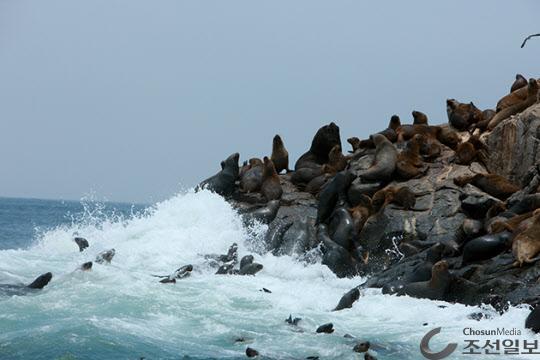 사진 한 가운데 수컷은 영락없는 바다사자(Sea Lion)라 할 만큼 사자를 닮았다.