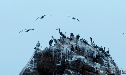 섬 바위 위에 앉아 있는 펠리칸 무리들