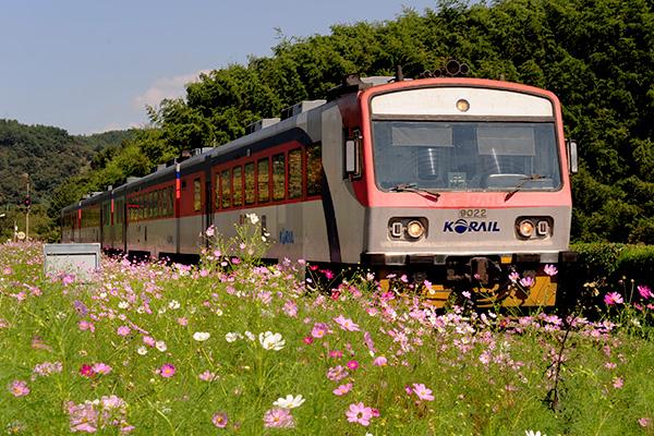 북천역 앞 코스모스밭 사이로 열차가 지나고 있다.