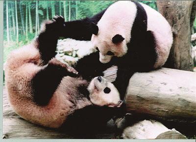 에버랜드가 자연농원 시절 맡아 기르다 중국으로 반환한 판다곰 밍밍과 리리(오른쪽)