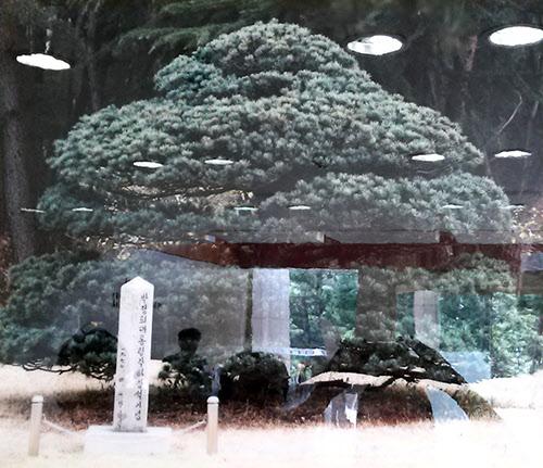 1970년 4월 1일 박정희 대통령이 영일대에 기념으로 심은 나무.