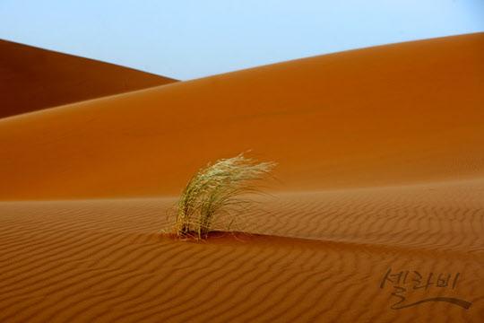 끈질긴 생명력을 가진 낙타나무(camel tree)
