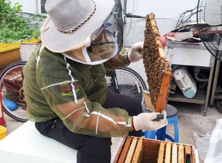 울산광역시 중구의 한 주택 옥상에서 김모(34)씨가 꿀벌이 가득 붙어 있는 양봉판을 들어 살펴보고 있다. 식당 주인인 김씨는 취미로 도시 양봉을 하고 있다.