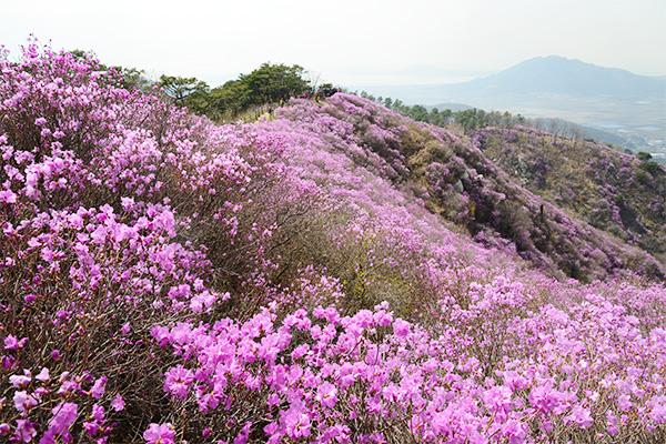 강화도 고려산이 분홍빛 진달래로 뒤덮였다.