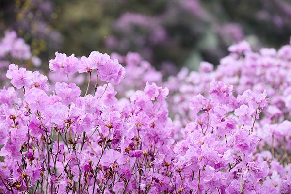 늦은 봄 개화하는 강화도의 진달래는 더욱 진한 색과 향을 지니고 있다.