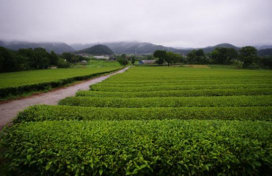 비가 내리는 가운데 보는 녹차밭은 색다른 묘미가 있다.
