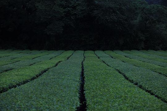 어둠이 내릴 때의 차밭은 녹색 이불을 깔아놓은 것 같다.