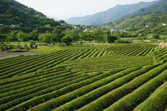 전남의 차밭이 비교적 평탄하다면 하동 지리산쪽 차밭은 계단식으로 이뤄져 높낮이가 심하다.