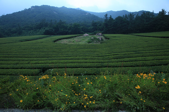 차밭 주위에 피어난 이름모를 꽃들이 풍경을 더 화사하게 만들었다.