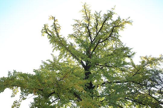 오지호 화백 집 마당에 있는 500년된 은행나무에도 가을이 내렸다.