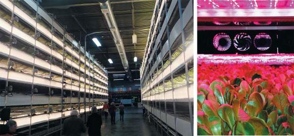미국 뉴저지주 뉴어크시에 있는 수직농장 업체인 에어로팜(Aero Farms) 내부 모습. 건물 실내에 여러 층의 재배대를 설치해 사시사철 신선한 채소를 재배하고 있다. 낡은 철강 공장을 리모델링해 농장으로 만들었다. 오른쪽 사진은 LED 재배등(燈)이 붉은빛으로 채소를 비추는 모습.