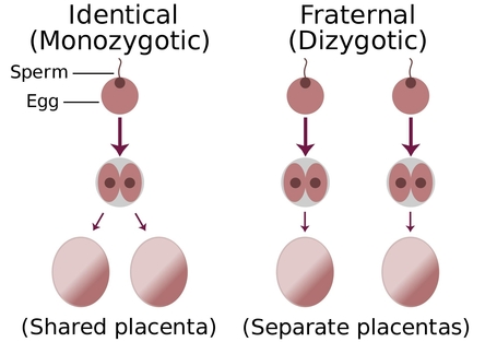 일란성 쌍둥이와 이란성 쌍둥이 발생 원리.  일란성 쌍둥이는 1개의 난자에 수정이 이뤄진 뒤 수정란이 분열하면서 2개의 배아가 갈라지지만(왼쪽), 이란성 쌍둥이는 2개의 난자에 각각 수정이 이뤄져 개별 배아로 성장한다./위키미디어 제공