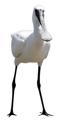 멸종위기 야생동물 1급인 천연기념물 저어새.