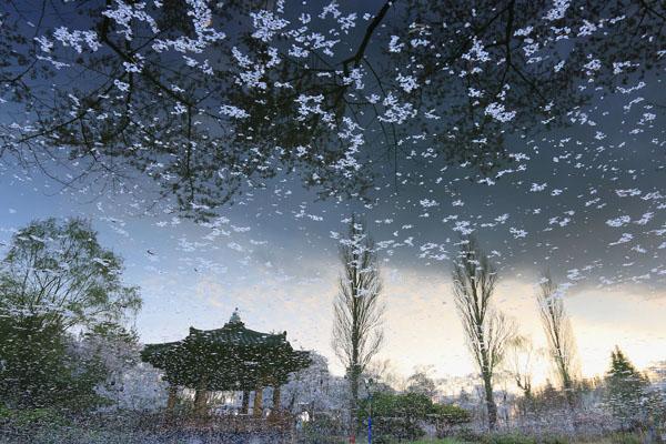 보문정 호수에 떨어진 꽃잎이 마치 밤하늘을 수놓은 별처럼 보인다