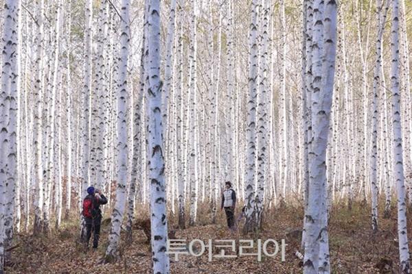 인제 자작나무 숲