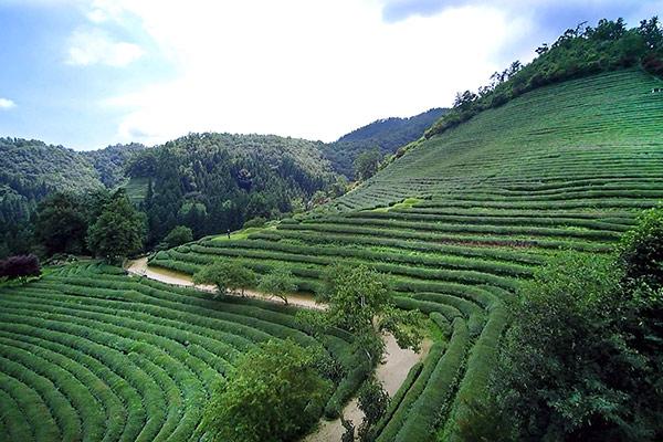산 중턱을 가득 채운 녹차 밭이 장관을 이뤄내는 보성 '대한다원'