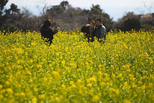 봄의 시작 알리는 제주 유채꽃
