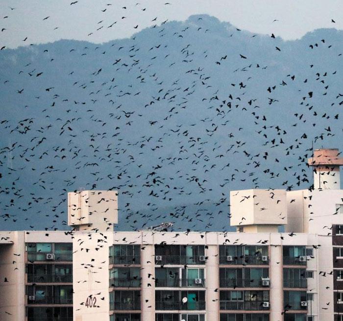 경기도 수원시 한 아파트 단지 상공에서 떼까마귀들이 무리 지어 날아다니고 있다.