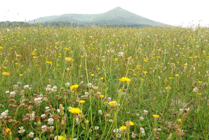 서양금혼초가 제주시 애월읍 새별오름 일대를 뒤덮은 모습.