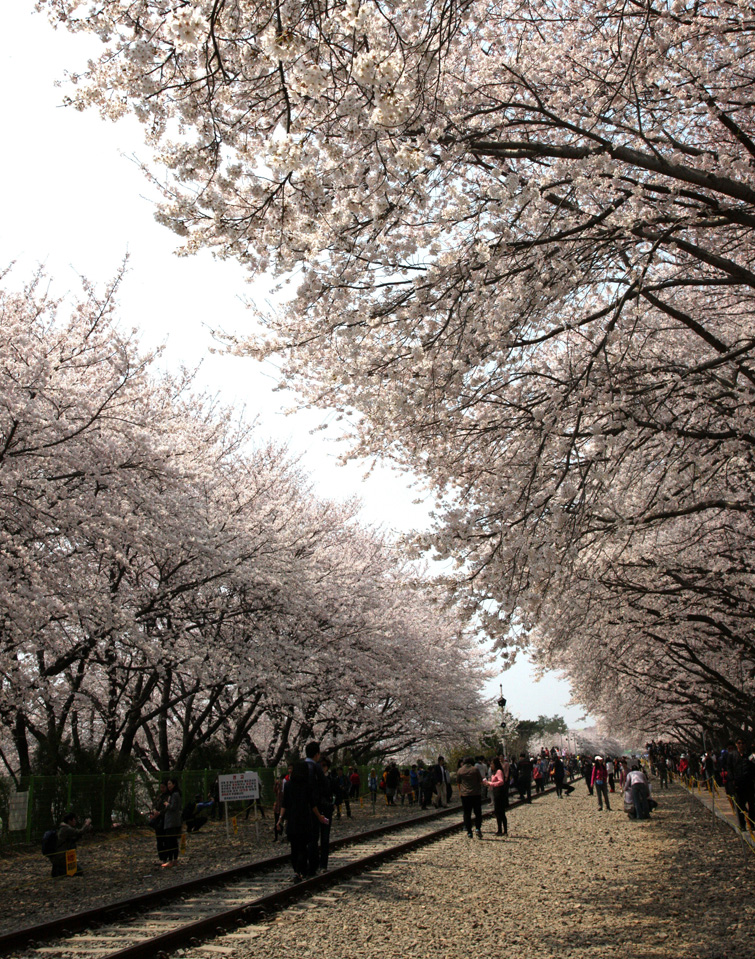 진해벚꽃축제
