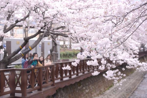 올해로 55주년을 맞는 군항제가 지난 31일 시작됐다. 사진은 여좌천의 벚꽃을 즐기는 시민의 모습