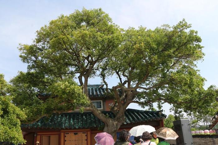 서산 간월도 팽나무