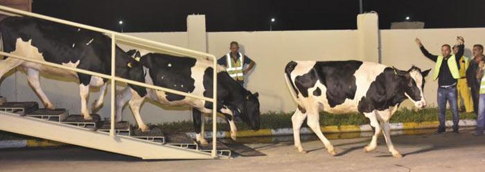 최근 카타르 도하 공항에 도착한 항공기에서 네덜란드 수입 젖소들이 줄지어 나오고 있다.