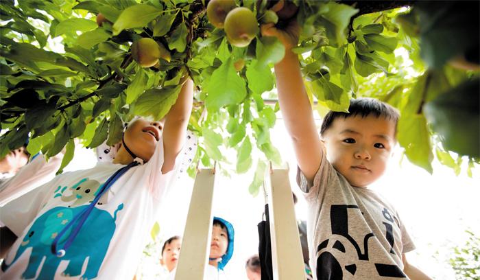 지난달 말 영동 과일나라 테마공원을 찾은 어린이가 직접 자두를 따는 모습. 이곳에선 일정 비용을 내면 나무를 분양받거나 수확 체험을 할 수 있다.