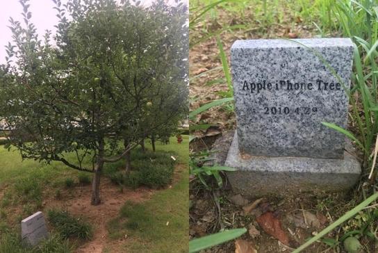 경기도 파주시 덕은리 LG디스플레이 P8 공장 앞 화단 아이폰 사과나무의 모습. 이 나무는 지난 2010년 4월 당시 애플의 최고운영책임자(COO)였던 팀 쿡(Tim Cook)이 공장을 방문한 기념으로 심었다. /박성우 기자