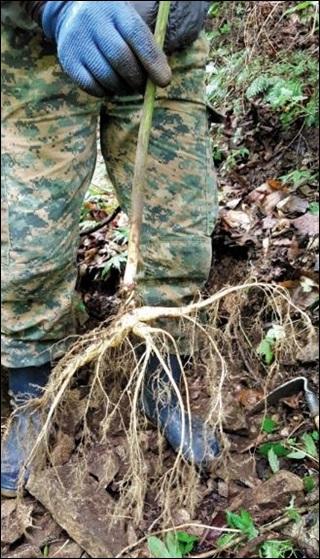 심마니 홍모씨가 지난 7월 강원 화천군 용화산 자락에서 뿌리 길이만 70㎝에 이르는 산삼을 캤다.