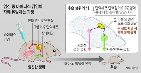 임신 중 바이러스 감염이 자폐 유발하는 과정