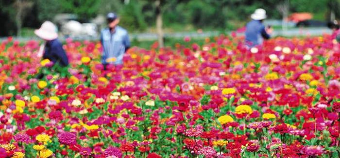 평창강변의 백일홍 꽃밭을 걷는 사람들. 매년 가을이면 알록달록한 백일홍이 축구장 6개 넓이의 들판에 만발한다.