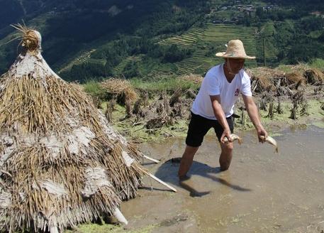 벼 오리 물고기를 함께 키우는 구이저우의 자방 계단식 논에서 주민이 잡은 잉어를 보여주고 있다. 왼쪽 볏집으로 만든 건 여름철 더위와 겨울철 추위를 막아주는 물고기 집 /총장현(구이저우)=오광진 특파원