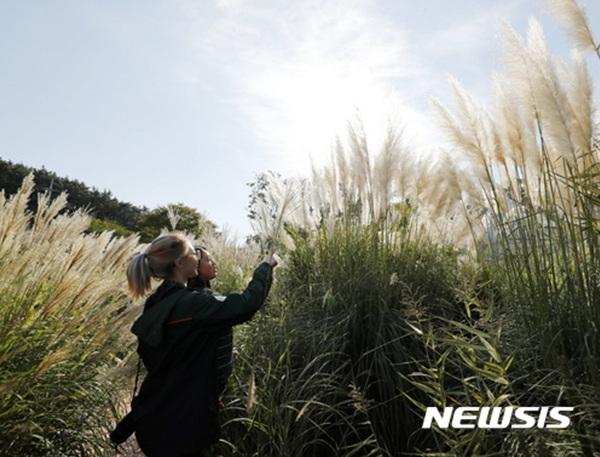 태안 청산수목원 '팜파스 축제'.