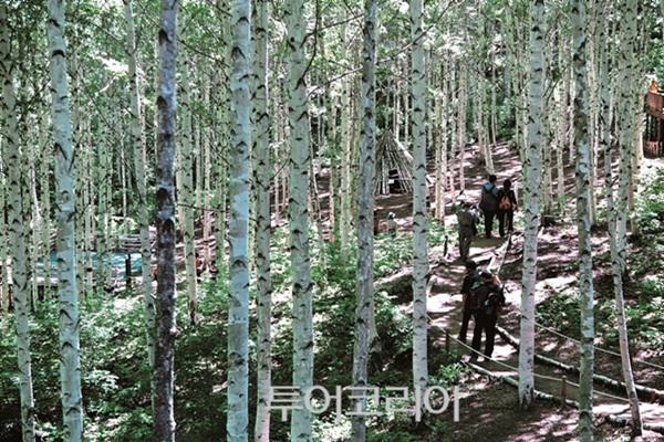 인제 원대리자작나무숲길