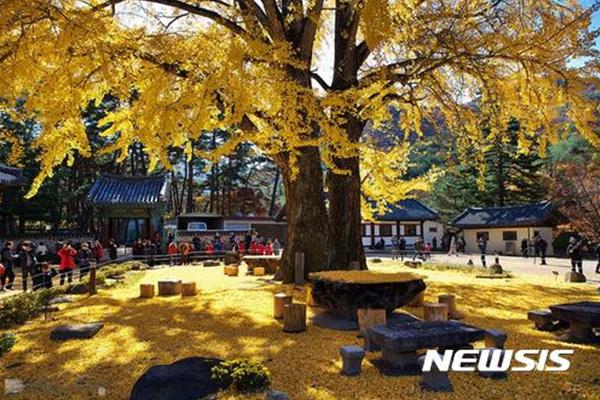 청도 솔바람길에 있는 운문사 경내의 수령 400년의 은행나무.
