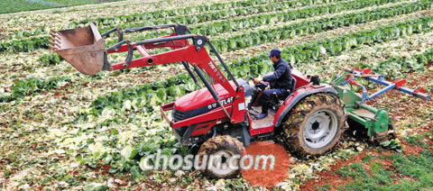 13일 충남 홍성군 은하면의 한 배추밭에서 농민이 수확을 앞둔 배추를 트랙터로 갈아엎고 있다.
