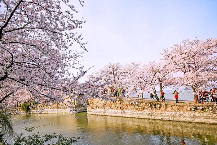 4~5월이 되면 윈두저공원은 분홍빛으로 물든다.
