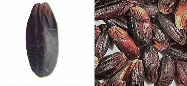 """""""눈큰흑찰·콩눈 먹으면 다이어트 효과 있다"""" 농촌진흥청 연구결과 발표"""